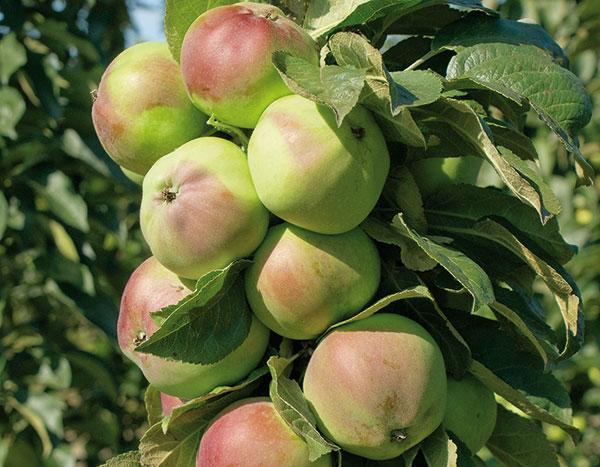 Ako sa starať o stĺpovité jablone