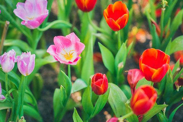 Prečo tulipány nekvitnú?