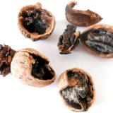 Prečo ku koncu dozrievania jadrá vlašských orechov očernejú?
