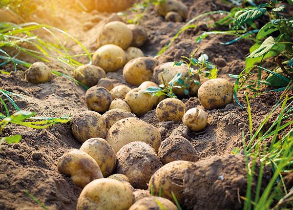 Ako vyriešiť problém s červivými zemiakmi