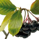 Ako sa pestuje arónia čiernoplodá