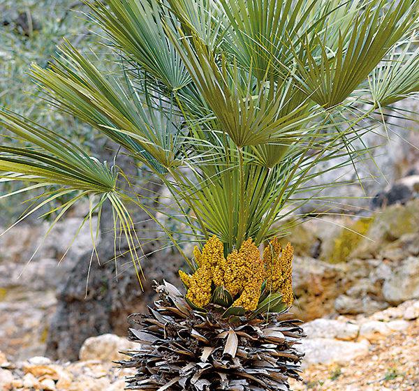Ako na pestovanie palmy