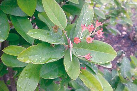 Prečo nemajú kvitnúce čučoriedky aj plody?
