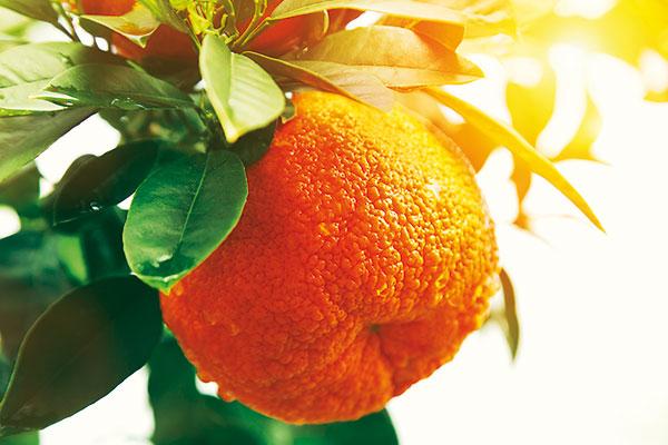 Ako prezimovať v záhrade citrusy
