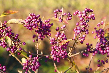 Ako si v záhrade rozmnožiť krásnoplod