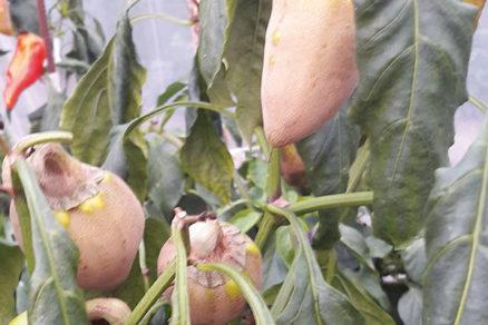 Ako vzniká povlak na paprike a čo s ním