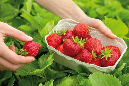 Ako pestovať jahody v záhrade, na balkóne aj v interiéri