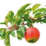 Akú jabloň vysadiť a kedy presadiť morušu