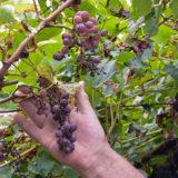 Chránime vinič pred múčnatkou