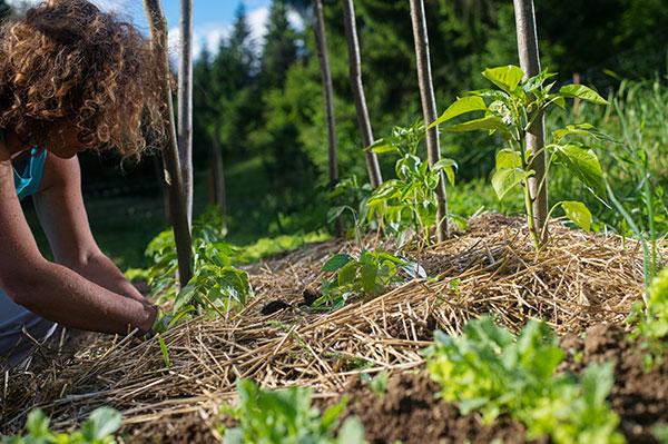 Ako dopestovať kvalitnú zeleninu na neúrodnej pôde? Na slame!