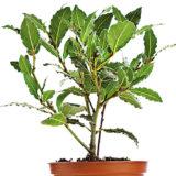 Ako pestovať bobkový list