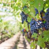 Strašiak menom bortrytída viniča
