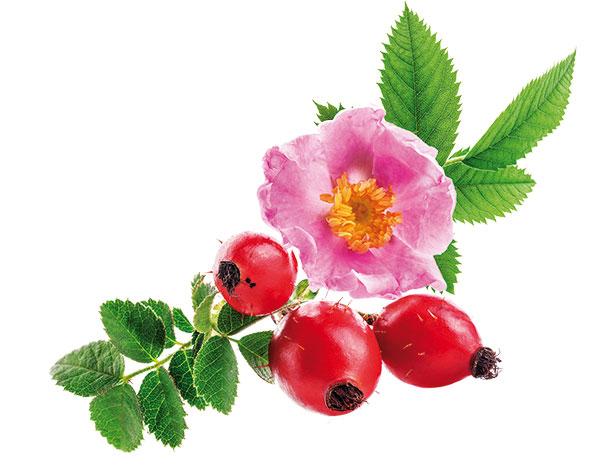 Ruža ako chutný dar zdravia: Zbierať šípky sa oplatí!