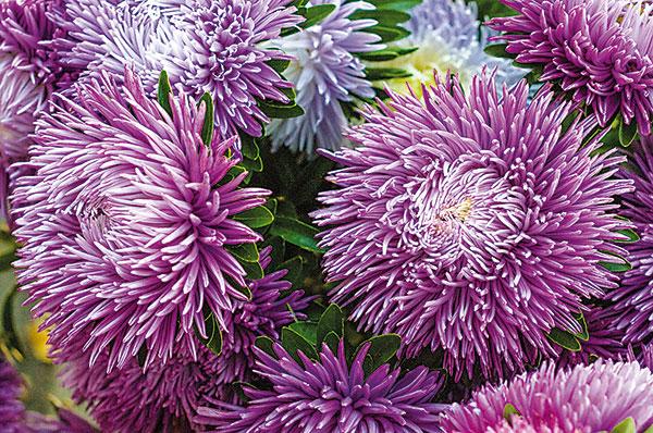 Kedy vysádzať chryzantémy a astry