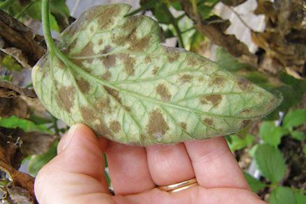 Choroba na rajčinách? Čo spôsobuje sivozelené škvrny na listoch