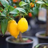 Čo robiť, keď citrónovník nemá plody?