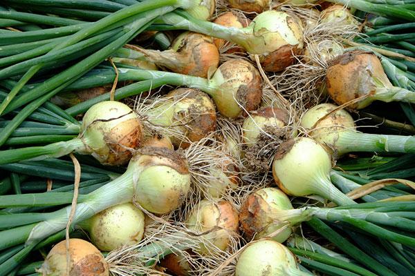 Cibuľa, pažítka, pór: Čas na výsev cibuľovej zeleniny sa blíži!