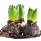 Prečo mi nekvitnú hyacinty?