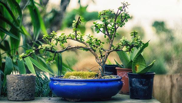 Čo by ste mali vedieť, keď chcete pestovať bonsaj