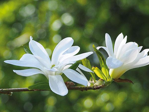 Ako pestovať hviezdokvetú magnóliu