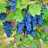 Aké choroby ohrozujú vinič?