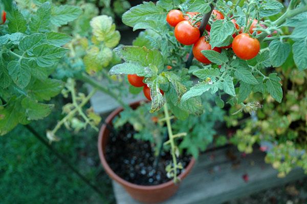 Najjednoduchší spôsob, ako vypestovať rajčiny: Priamo z plodu!