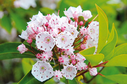 Čo potrebuje kalmia, aby nás obdarila pekným kvetom?