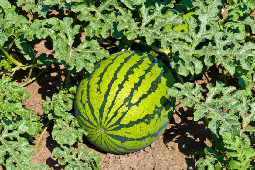 Ako zistíme, či sú melóny, uhorky, paradajky a papriky už zrelé?