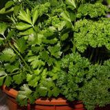 Prečo pestovať, kedy zberať a ako skladovať petržlenovú a zelerovú vňať