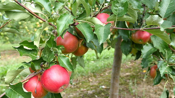 Ako vybrať a sadiť výpestky ovocných stromov a krov