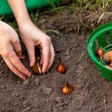 Na jar sa treba pripraviť už teraz: 6 tipov na menej známe cibuľoviny a hľúznaté rastliny