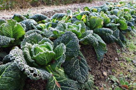 Ako pestovať a chrániť zeleninu, ktorá prezimuje na záhrade?