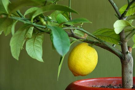 Je možné zachrániť poškodený citrónovník?
