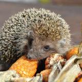 Zachráňme ježka: Starostlivosť a prezimovanie v záhrade