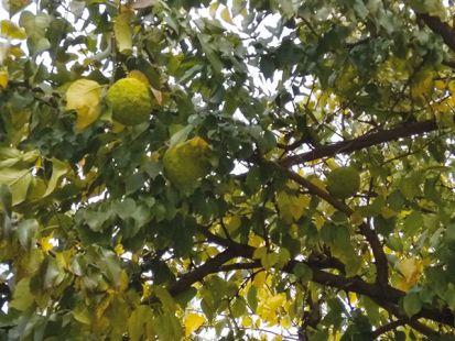 Nie je to pomaranč: Maklúra pomarančová