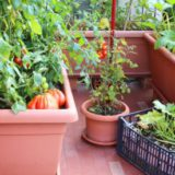 Akú zeleninu a ovocie je vhodné pestovať na balkóne