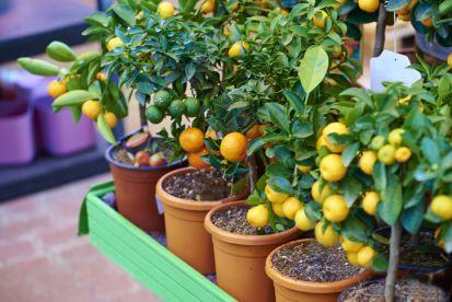 Akú zeminu pre citrusy?