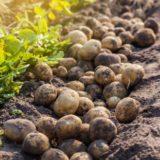 Má zmysel predklíčovať hľuzy zemiakov?