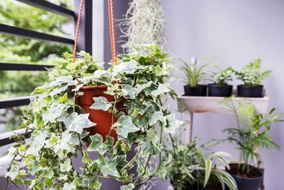 Vždyzelené rastliny, ktoré skrášlia vašu terasu alebo balkón