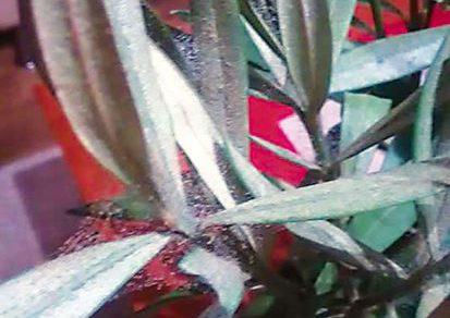 Čo robiť, keď oleander napadnú roztoče