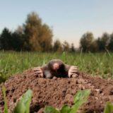 Krtko v záhrade: Ako sa ho zbaviť prirodzene?