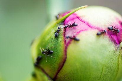Pravda alebo mýtus: Priťahujú pivonky mravce?