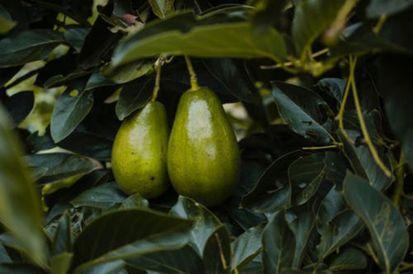 Ako vypestovať avokádo