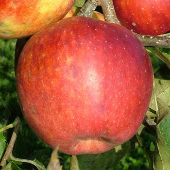 Jablko Jonagored