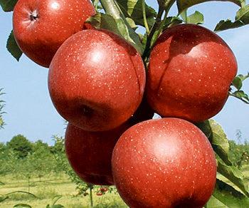 jablko releika