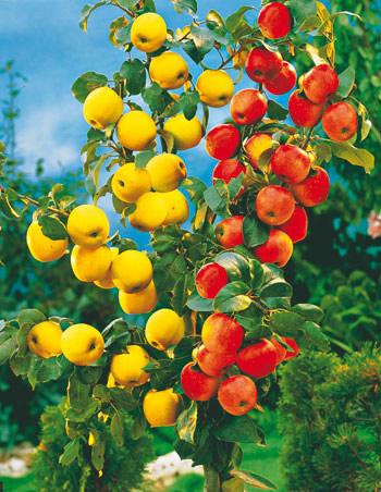 jablkove dueto dve odrody na jednom strome