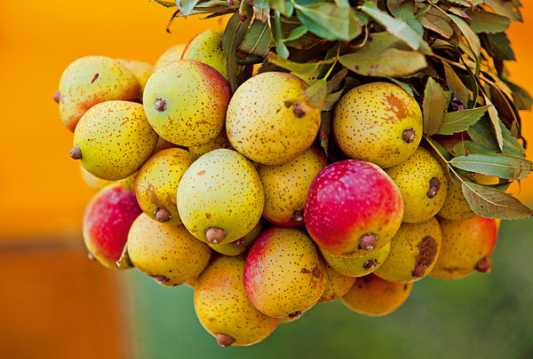 jarabina oskorusova klenot ovocnej zahrady