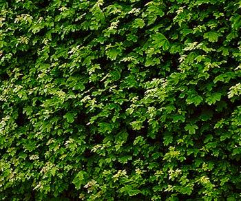 javor polny