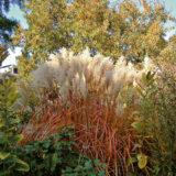 jesenne trvalky druhy vysadba apestovanie