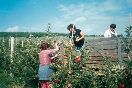 letny rez ovocnych drevin
